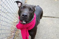 CRYSTAL - A1100718 - - Manhattan  TO BE DESTROYED 01/08/17 **ON PUBLIC LIST** VA volunteer writes: Crystal is a beautiful girl with a sensitive soul, a dark gem whose precious heart remains shrouded in mystery. Could she be a lover of toys? Games? Snuggling? She's never anything but soft and gentle and in a real home anything is possible, but for now Crystal's shyness and fear in the Care Center environment don't give too much away. She's easy to lea