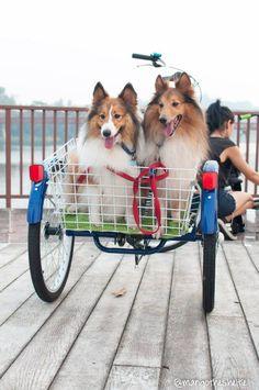 Sheltie Bike for Two