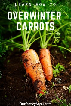 Growing Carrots for Winter Harvest is one of the best ways to enjoy this garden treat.  All it takes is a little planning and some extra care in the fall! #carrots #backyardgardening #gardening #vegetablegardening