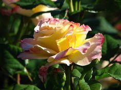 3 Color Rose