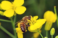 """ABuzz Over Bee Health: New Pesticide Studies Rev Up Controversy  """"Even if you're not a lover of bees or honey, you should know that bees are critically important to our food supply.    And two new studies published in the journal Nature add to the evidence that overuse of neonicotinoid pesticides may also be contributing to the decline of bees.""""Read more from our blog via npr."""