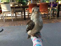 #kookaburra Lucas needs friends. #HouseSitters Needed Jun 10, 2021 10 Days #Landsborough Sunshine Coast QLD Australia Contact hs3.co?h=54 for more details.