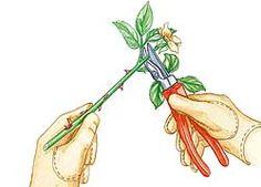 Stecklinge von Rosen Stecklingsvermehrung: von Rosen (August), wenn die einjährigen Triebe schon gut verholzt sind. Schneiden Sie von einem solchen Trieb einen etwa bleistiftlangen Steckling. Die Spitze mit eventueller Blüte wird ein paar mm oberhalb eines gut ausgebildeten Blatts entfernt, unten trennen Sie den Steckling einige mm unter einem Blatt oder einer Knospe ab....