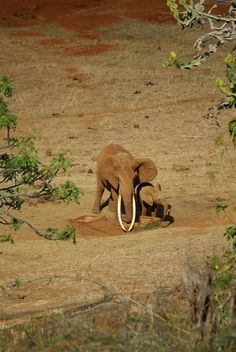 beautifull female with lovely baby and large tusks hope she still is safe only elephants should wear ivory