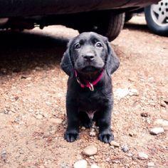 Black Labrador retriever puppy. Look at those ears!