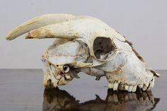 Goat Skull Animal Bones, A Level Art, Animal Skulls, People Art, Memento Mori, Skull Art, Skeletons, Fossils, Goats