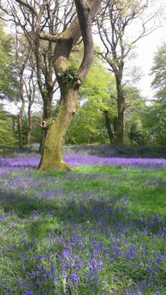 Bluebells at Blackberry Camp, Iron Age Hill Fort near Sidmouth Devon