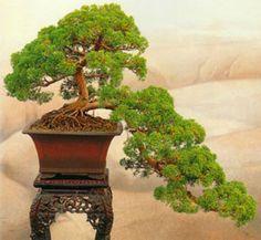 JUNIPERO hecho bonsai. me gustaria saber opiniones. (fotos) - Foro de InfoJardín