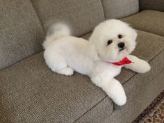 Jeannie is a 3 year old Bichon Frise who is visiting the UGL fall 2014!