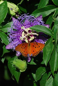 Passion Flower with a gulf fritillary butterfly which is their host plant!  They lay eggs which turn into caterpillars they will strip ever green leaf off, but that is okay!!  They won't hurt the plant they are just pruning it.  The plant doesn't die and you are rewarded with all these butterflies.  A gift from above!