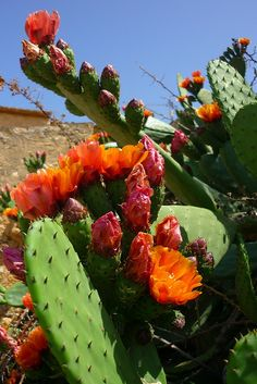 Flor de cactus, Chumberas.  Photo: calafellvalo via Flickr