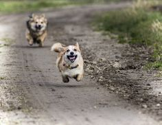 Cute little Corgi Honey running