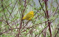 Yellow Warbler by BruceStambaugh