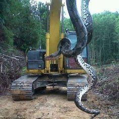 700-Pound Snake? — Giant Snake Found In North Carolina, Facts And Photos - you have to read the article. This snake is Huge!!!