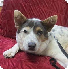 Ollie Cambridge, MD - Australian Shepherd Mix. Meet Ollie, a dog for adoption. http://www.adoptapet.com/pet/11909890-cambridge-maryland-australian-shepherd-mix