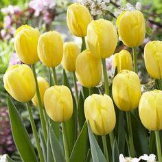 Darwin Tulip Bulbs Golden Oxford, Tulipa - Fall Bulbs from American Meadows