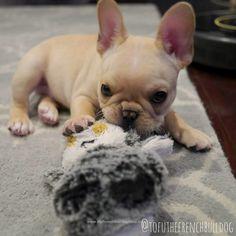 Tofu, the French Bulldog Puppy