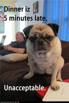 Pugs being Pugs and mainly getting away with it Best Funny Pug Vines of 2013 Part 1 Pugs being Pugs and mostly getting away with it Funny Dog Memes, Funny Animal Memes, Cute Funny Animals, Cute Baby Animals, Funny Dogs, Fu Dog, Baby Pugs, Pug Puppies, Terrier Puppies