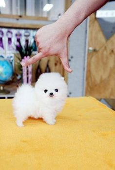 Are You Looking for TEACUP Pomeranian puppy for sale? Then you need to Read our complete information on this before buying a Pomeranian Teacup Puppies Teacup Pomeranian Puppy, Teacup Puppies, Cute Puppies, Cute Dogs, Cute Babies, White Pomeranian, Teacup Yorkie, Teacup Pomeranian Full Grown, Miniature Pomeranian