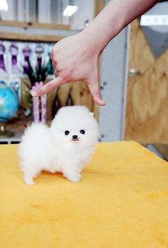 So tiny! Chiot miniature pomeranian