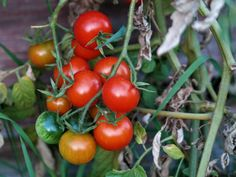 Growing Tomatoes, Victoria, How To Clean Carpet, Garden Planning, Calzone, Vegetables, Sad, Peace, Stuffed Peppers