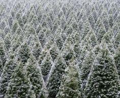 Christmas tree farm of my dreams.