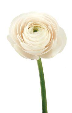 Ranunculus Pink Lt Clooney Italy   Delaware Valley Wholesale Florist   mar2999