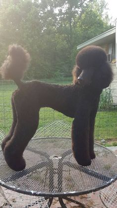 Beautiful cut and beautiful standard poodel Pet Dogs, Dogs And Puppies, Corgi Puppies, Weiner Dogs, Pets, Doggies, Poodle Drawing, Chocolate Poodle, Poodle Haircut