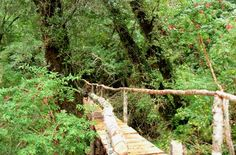 tepual pathway tepu chiloe images - Google Search