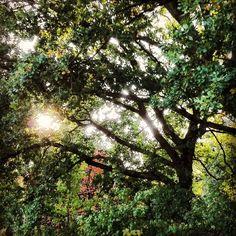 """""""Sun between the branches #sun #zon #sonne #trees #bomen #groen #green #colors #kleuren #beautiful #herfst #fall #autumn #leafs #bladeren #hout #yellow…"""""""