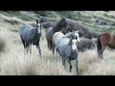 ▶ 2012 Kaimanawa Horse Muster - YouTube Wilson Sisters, Bryan Adams, Wild Mustangs, Horse Stuff, Beautiful Horses, Pretty Little, Animal Kingdom, Love Of My Life, My Best Friend