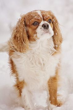 Myla the King Charles Cavalier in the winter.  Michele Kovack