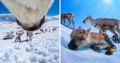 What Happens When You Give A Reindeer A Camera   Bored Panda