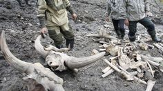 Russian scientists discovered a fully-grown female mammoth with blood & well-preserved muscle tissue trapped in ice in Siberia.--Museum of Mammoth of Institute of Applied Ecology of the North North-Eastern Federak University