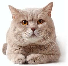 British Shorthairs make great lap-cats. See the rest of the most popular cat breeds in America in this cute slideshow.
