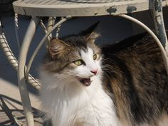 Taking in the fresh air. Maine Coon Cat