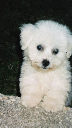 Bichon frise - my Bichon looked exactly like this one as a baby! She is now 7 years old. Baby Bailey is her name.