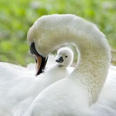 ~~Surrounded by Love ~ a mute swan with cygnet by Jacky Parker~~