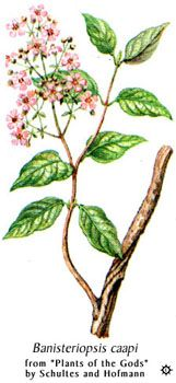 Psychotria viridis - Google Search