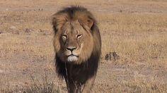 Pétition · Justice pour Cecil, le célèbre lion massacré par un chasseur de trophées au Zimbabwe ! · Change.org