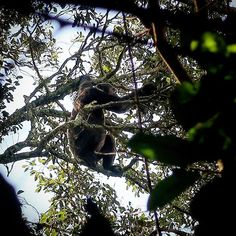 Tracking in the rainforest led to a meeting with a cousin - The schimpanze - Loved how easily they walk in the treetops