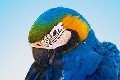 Princess Ara, parrot