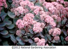 """Hylotelephium telephium 'Vera Jameson'-Common name(s): Live Forever Sedum ~ Perennial, Succulent; USDA Hardiness Zones: 4a to 8b; Height: 9"""" to 12""""; Spread: 12"""";  Exposure: full sun; Bloom Color: Pink; Bloom Time: Early fall, Late summer, Mid summer; Leaf Color: Green, Purple; Grows slowly; Moisture: moist"""