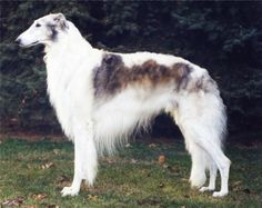 """The borzoi (, literally """"fast""""), also called the Russian wolfhound (), is a breed of domestic dog (Canis lupus familiaris). Description from imgarcade.com. I searched for this on bing.com/images"""