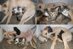 "Wonderful story: ""Scamp, a former stray dog, saved the lives of six kittens that were trapped inside a cardboard box in the middle of the garbage in a square in Brazil. On hearing the mewing of the kittens, Scamp broke the box, pulled them out one by one and took them home. Having already experienced abandonment and a difficult life on the street, the rogue took them with him with the certainty that they would be saved in the same way he was saved one day"""