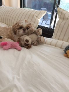The origin of Shih Tzu is ancient and is covered in a lot of mystery. It has been established that this dog is among the 14 oldest breeds and bones excavated in Puppies And Kitties, Baby Puppies, Baby Dogs, Cute Puppies, Cute Dogs, Doggies, Shih Tzu Puppy, Shih Tzus, Yorkie
