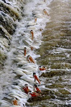 Watching the pelicans. Lockport near Winnipeg, Manitoba, Canada