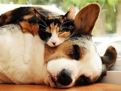 Sophie the Calico and Her Best Furever Furiend. Photo courtesy of Koratcats via Love Meow ~ Sweet Dreams beautiful friends ♥ cute calico cat sophie snuggles with corgi dog simon