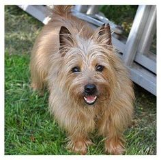 Walter - Cairn Terrier adopted from Col. Potter Cairn Rescue four years ago! Such a happy boy!