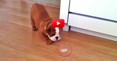 This Bulldog Takes An Ice Cube And Turns It Into The Best Game Ever. So Cute! | The Animal Rescue Site Blog